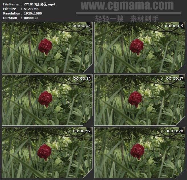 ZY1013玫瑰花鲜花高清实拍视频素材