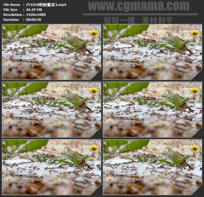ZY1018蚂蚁搬家高清实拍视频素材