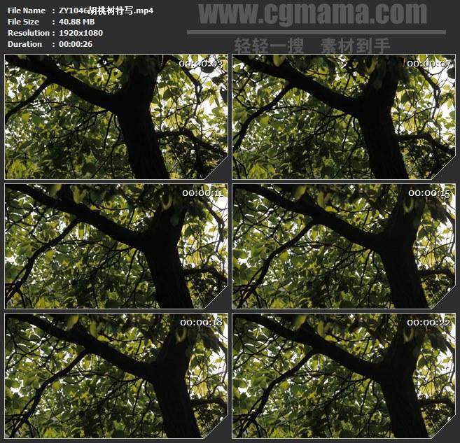 ZY1046胡桃树特写高清实拍视频素材