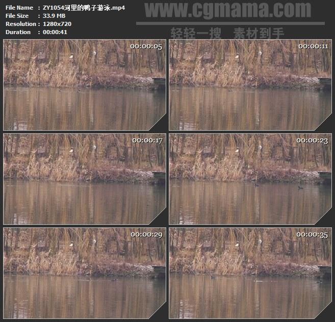ZY1054河里的鸭子游泳高清实拍视频素材