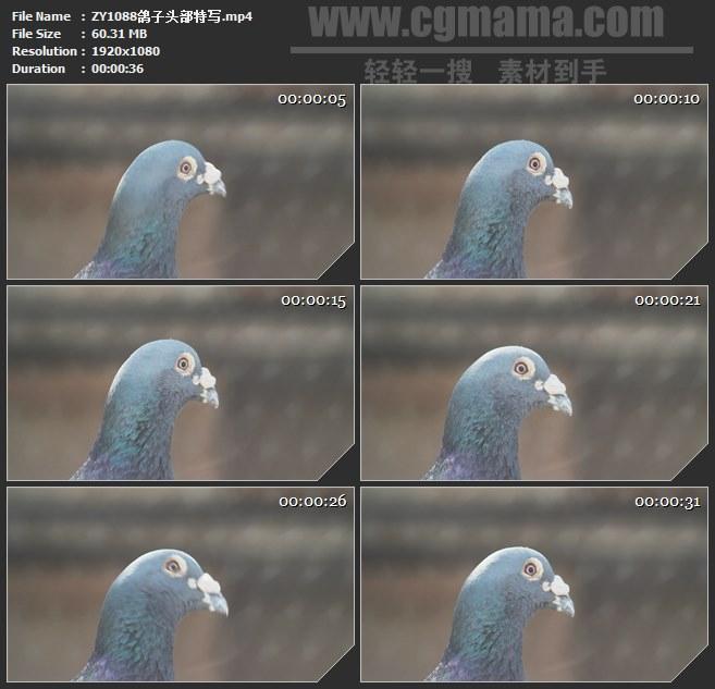 ZY1088鸽子头部特写高清实拍视频素材