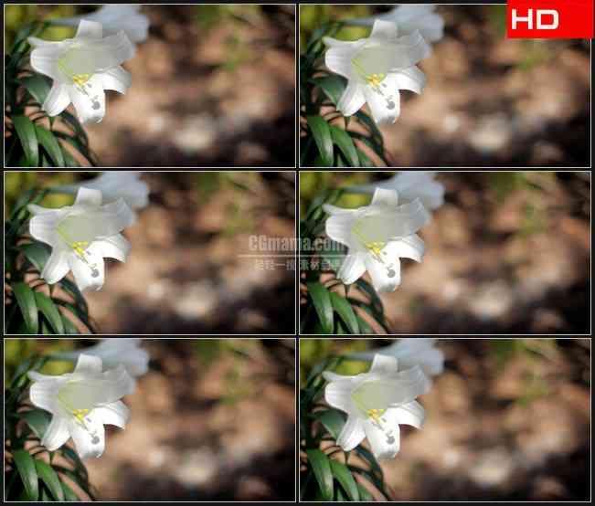 BG0295-微风春天白色百合花高清LED视频背景素材