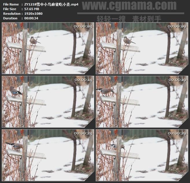 ZY1218雪中小鸟麻雀吃小麦高清实拍视频素材