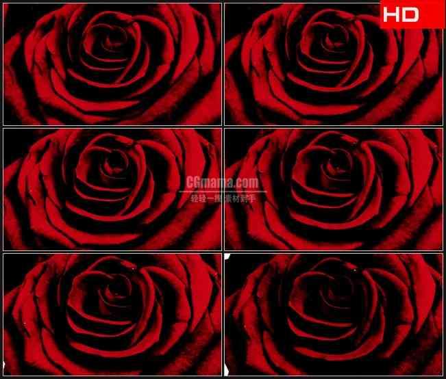BG0488-复古风玫瑰盛开特写高清LED视频背景素材