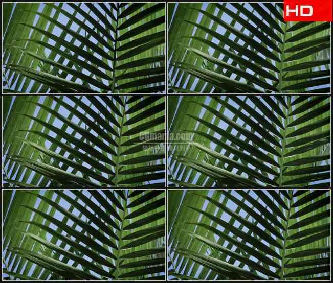 BG0786-棕榈树树叶摇摆特写高清LED视频背景素材