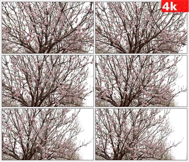 4K0904粉红色桃花桃树树冠全景高清实拍视频素材