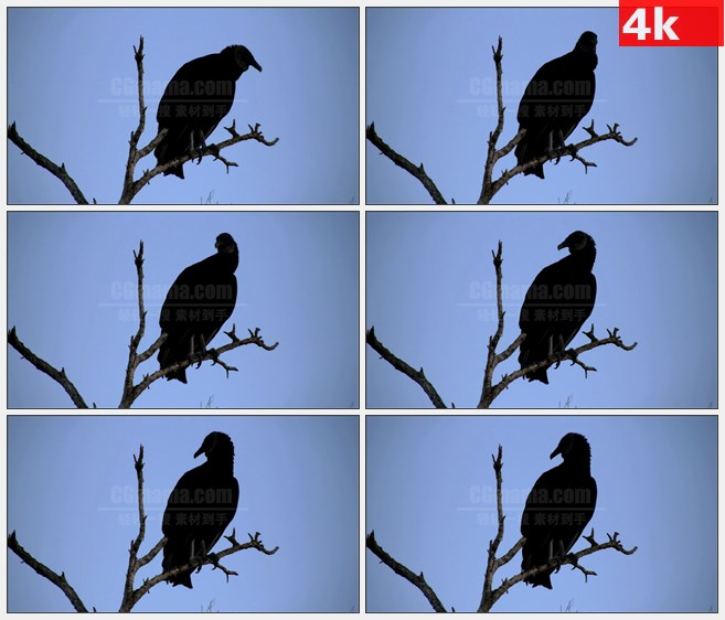 4K1000黑色秃鹫站在枝头枯树干高清实拍视频素材