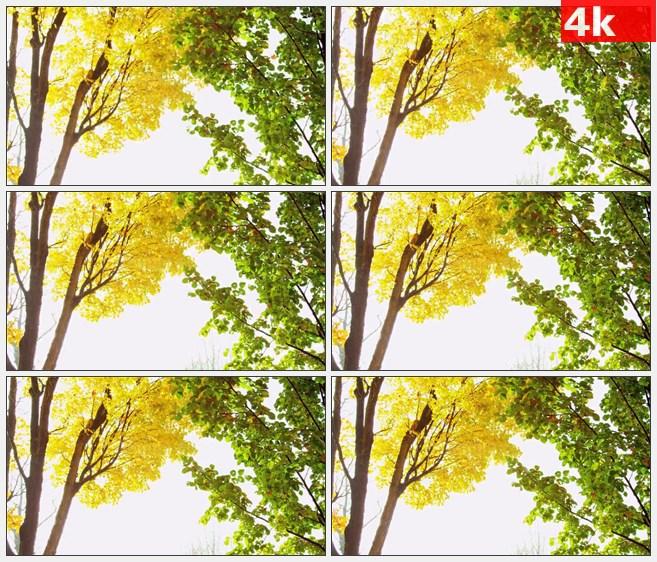 4K1054金黄色和绿色树木落叶秋天美景高清实拍视频素材