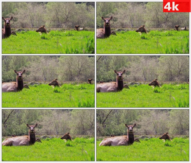4K1237麋鹿躺在草地上看着摄像机高清实拍视频素材