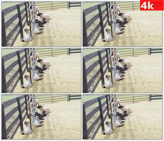 4K1240牧场农场饲养山羊羊群高清实拍视频素材