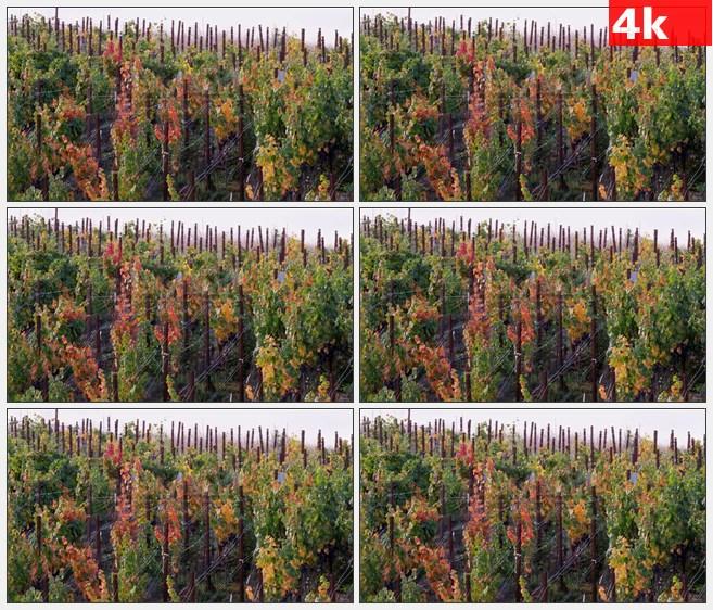 4K1243纳帕谷葡萄藤葡萄架高清实拍视频素材