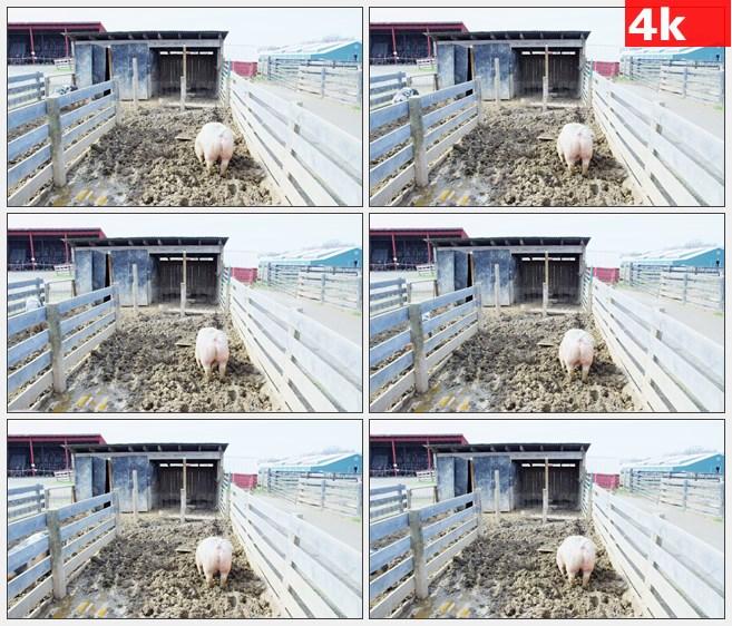 4K1279农场猪圈养猪场小猪高清实拍视频素材