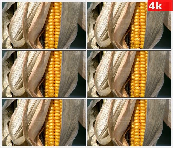 4K1317秋天成熟玉米金黄色饱满玉米粒叶子特写高清实拍视频素材