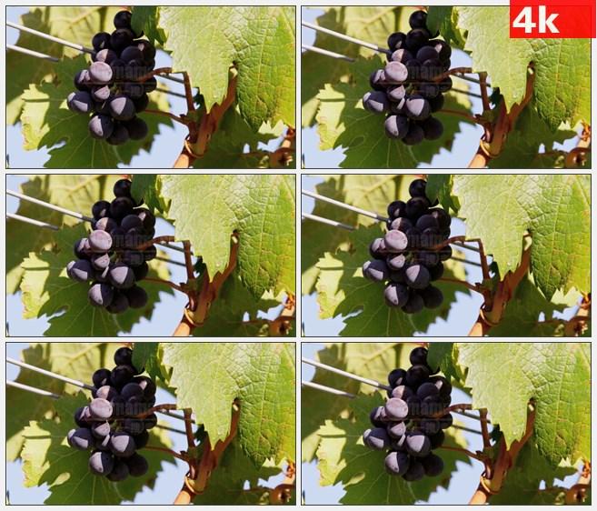 4K1318秋天成熟紫色葡萄葡萄叶特写高清实拍视频素材