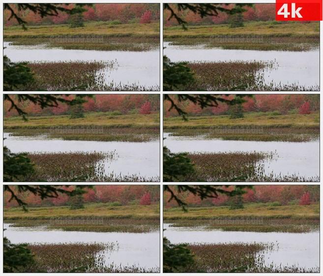 4K1322秋天荷塘红色黄色彩叶树林高清实拍视频素材