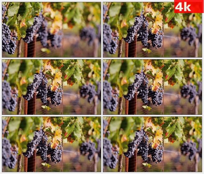 4K1328秋天紫色葡萄葡萄叶葡萄藤铁围栏特写高清实拍视频素材