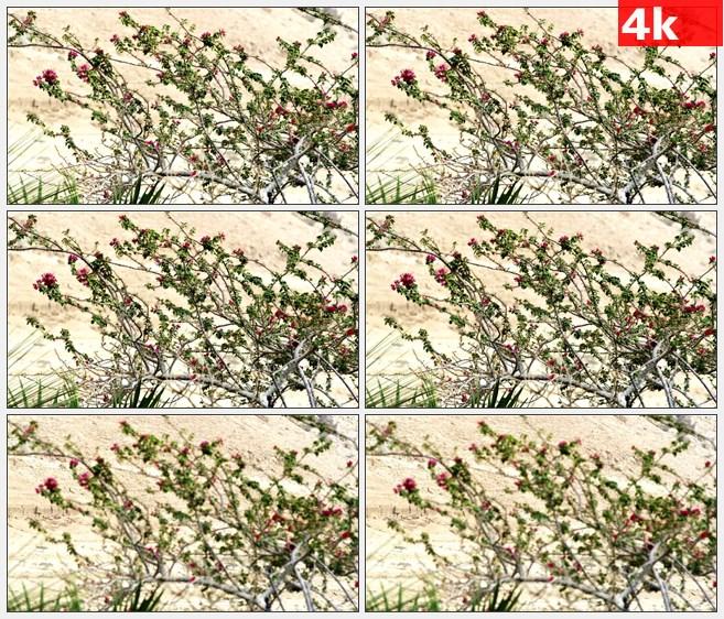 4K1351沙漠粉红色小花树干高清实拍视频素材