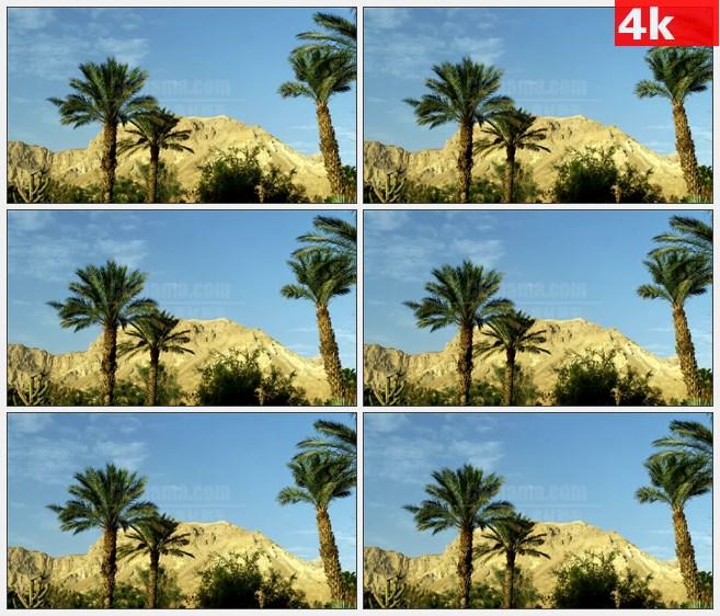 4K1560棕榈树微风中摇曳山丘自然美景高清实拍视频素材