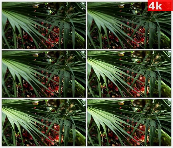 4K1562棕榈树叶 棕树 红色花朵高清实拍视频素材