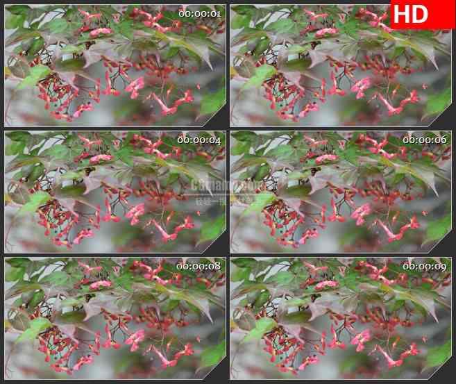 BG1822树上的花朵风中摇曳高清实拍视频素材