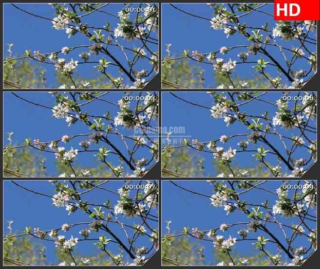BG2613粉红色和白色花朵阳光盛开高清led大屏视频背景素材