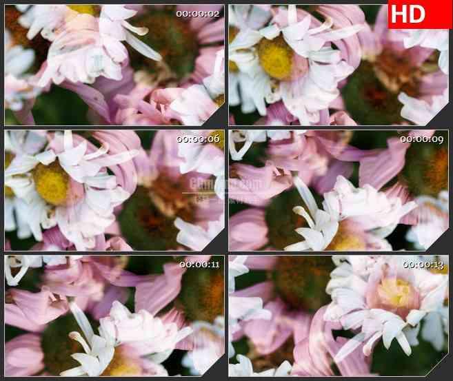 BG2614粉红色花白花旋转高清led大屏视频背景素材