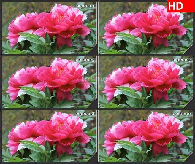 BG2615粉红色花朵绿叶阳光下盛开高清led大屏视频背景素材