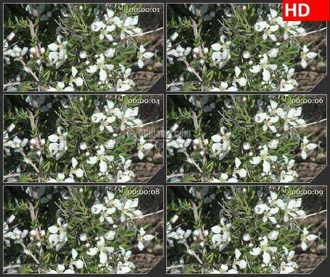 BG2677黄白色小花绿叶风中静止不动高清led大屏视频背景素材