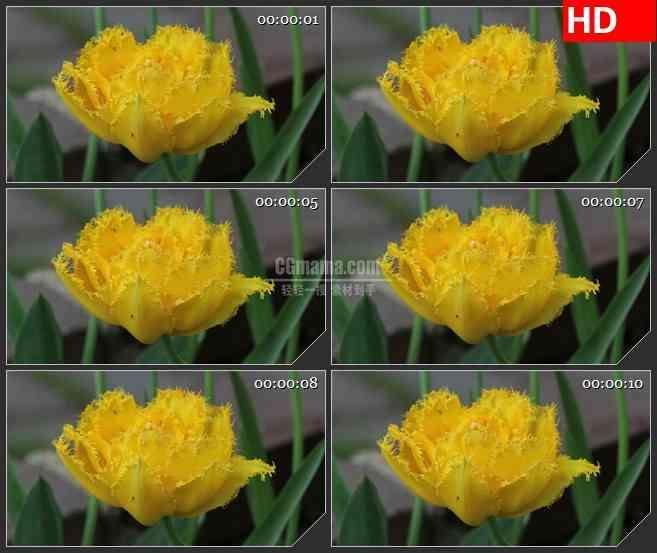BG2678黄色花朵绿叶摇动高清led大屏视频背景素材