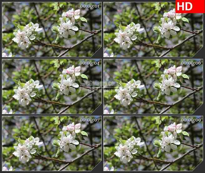 BG2697开白花的树枝绿叶风中摆动高清led大屏视频背景素材