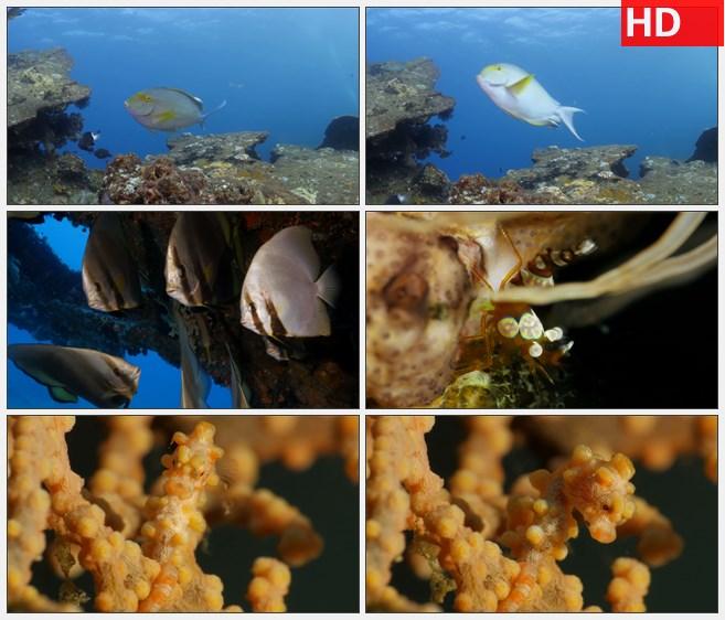 ZY1309海底红色珊瑚石鱼群小虾海马软体珊瑚高清实拍视频素材