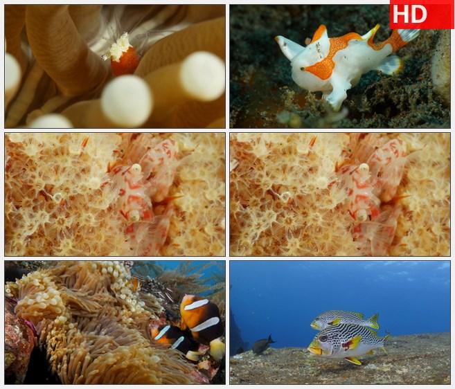 ZY1315海底世界软体珊瑚小丑鱼虾蟹高清实拍视频素材