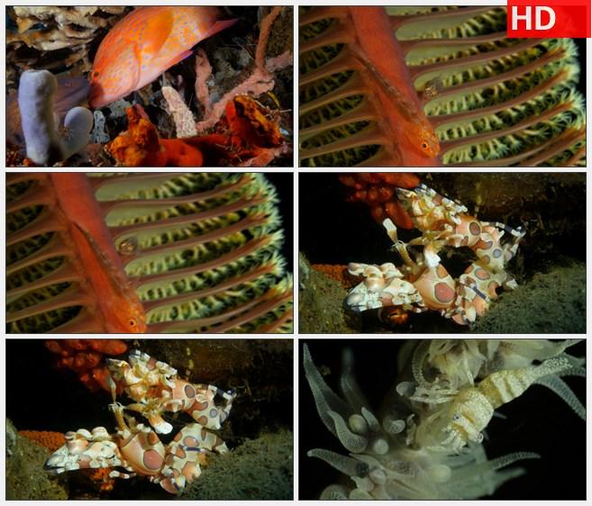 ZY1316海底世界珊瑚礁红色石斑鱼龙虾高清实拍视频素材