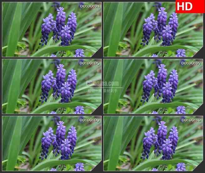 BG2742密苏里紫色的花绿叶风中摇曳高清led大屏视频背景素材