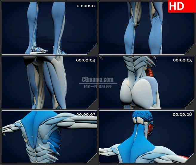 BG2771三维人体背面解剖模型从下及上高清led大屏视频背景素材