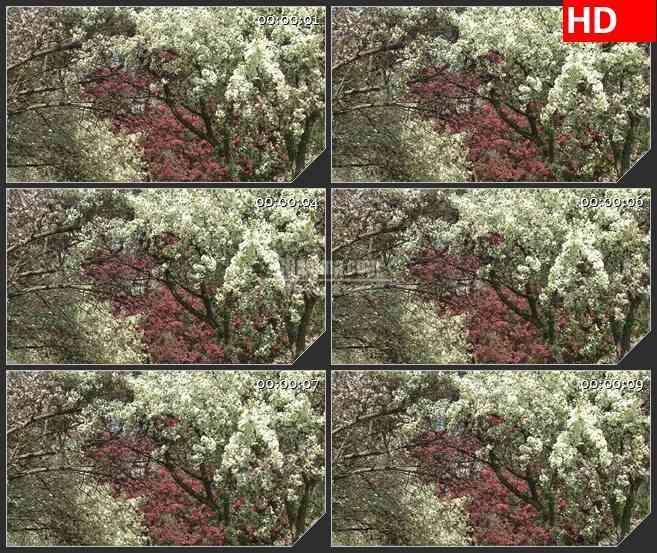 BG2798树上盛开粉红色和白色花朵风中摇曳高清led大屏视频背景素材