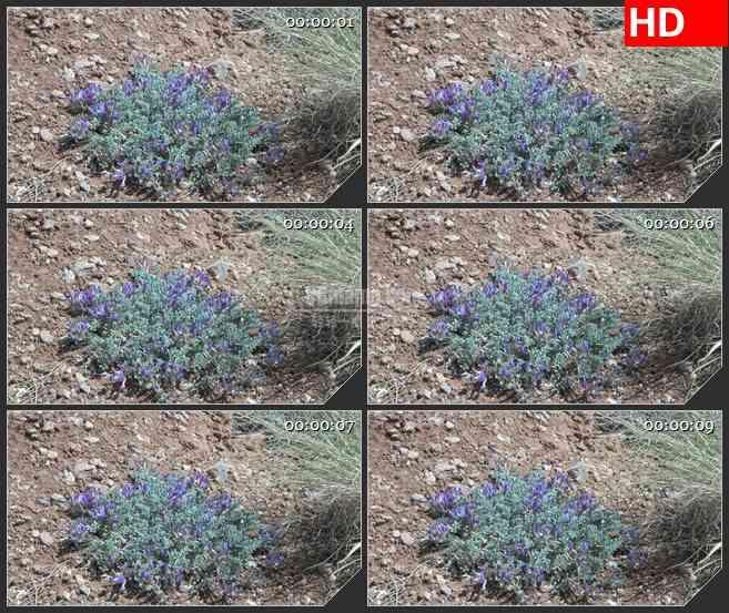 BG3050微观世界 郊外的紫色野花高清led大屏视频背景素材