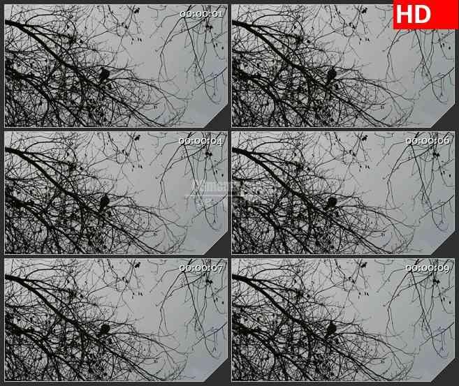 BG3131自然景色 树上休憩的鸟 剪影高清led大屏视频背景素材