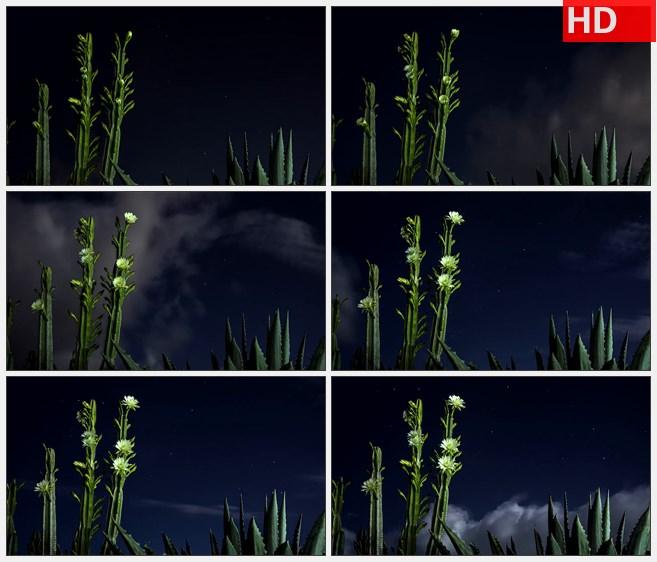 ZY1484夜晚星空闪电仙人掌开花黄色小花高清实拍视频素材
