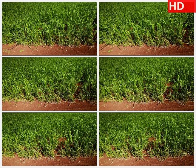 ZY1545充满活力的绿色的麦田红土麦子农业高清实拍视频素材高清实拍视频素材