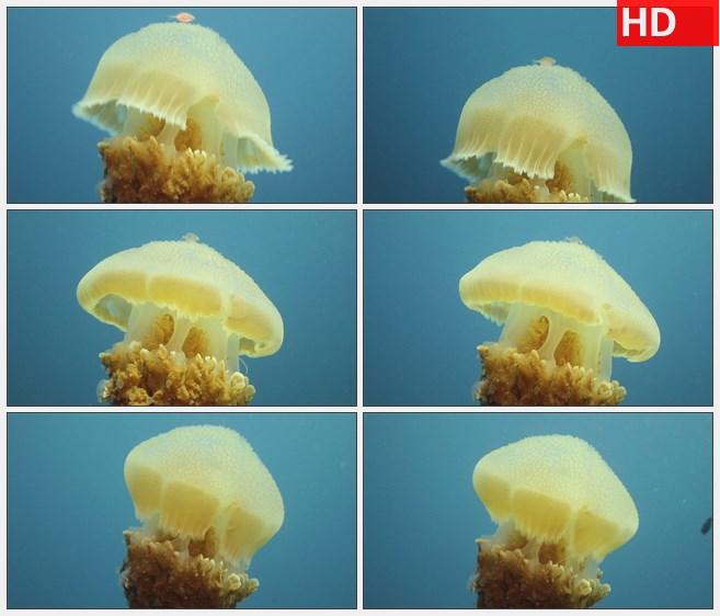 ZY1596海底生物黄色水母高清实拍视频素材高清实拍视频素材