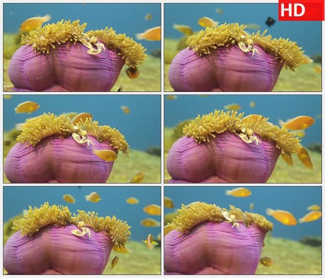 ZY1615黄色的鱼游来游去在粉色和黄色的海洋生物旁高清实拍视频素材
