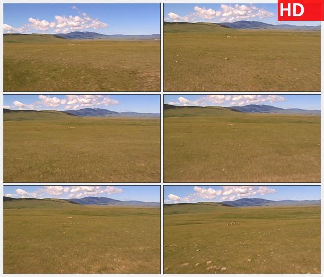 ZY1638空旷草原远山白色奔跑的羊群高清实拍视频素材