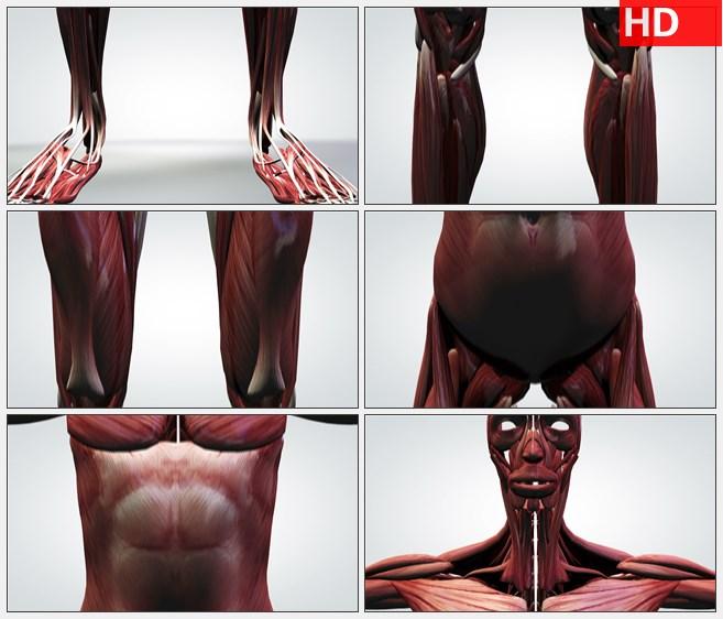 ZY1700三维动画模型的人体肌肉系统正面近景高清实拍视频素材