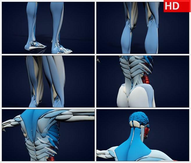 ZY1722三维人体解剖模型从底背上从脚到头蓝灰红高清实拍视频素材