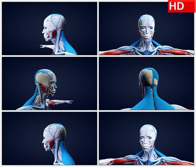ZY1723三维人体解剖模型旋转肩膀以上蓝红高清实拍视频素材