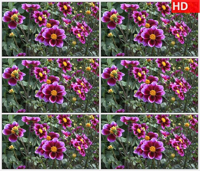 ZY1740双色调的紫色紫苑随风摇动高清实拍视频素材