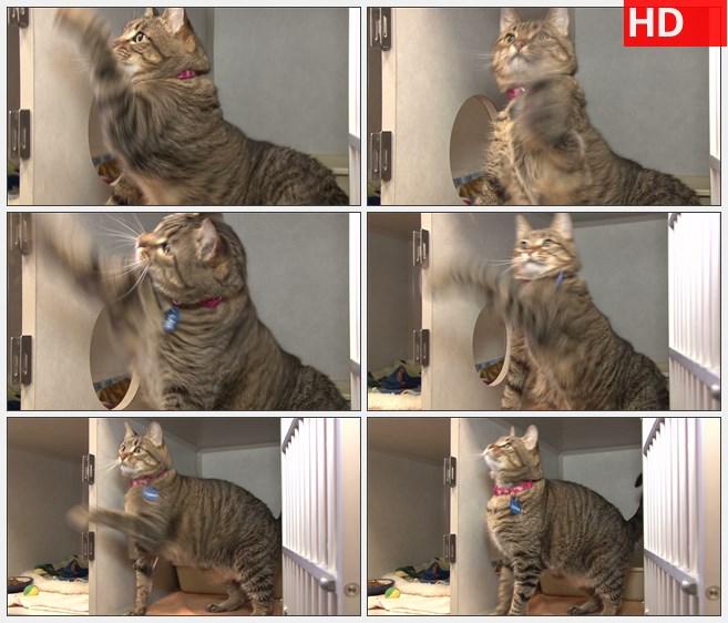 ZY1758条纹的小猫在玩绳子高清实拍视频素材