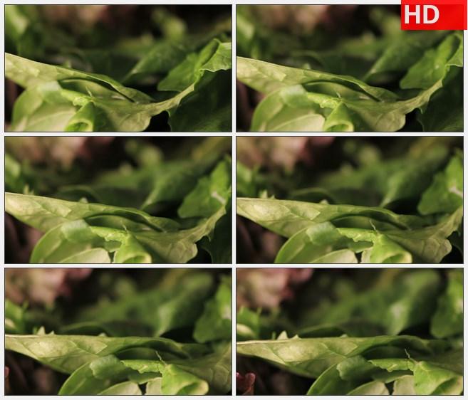 ZY1784旋转的莴苣叶高清实拍视频素材