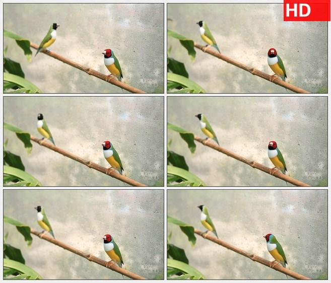 ZY1794燕雀小鸟在树枝上高清实拍视频素材高清实拍视频素材